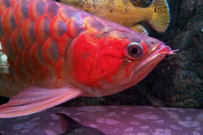 北流印尼小红龙  北流龙鱼 北流龙鱼第2张