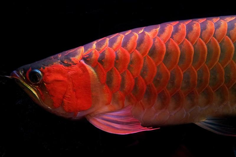 北流印尼小红龙  北流龙鱼 北流龙鱼第4张