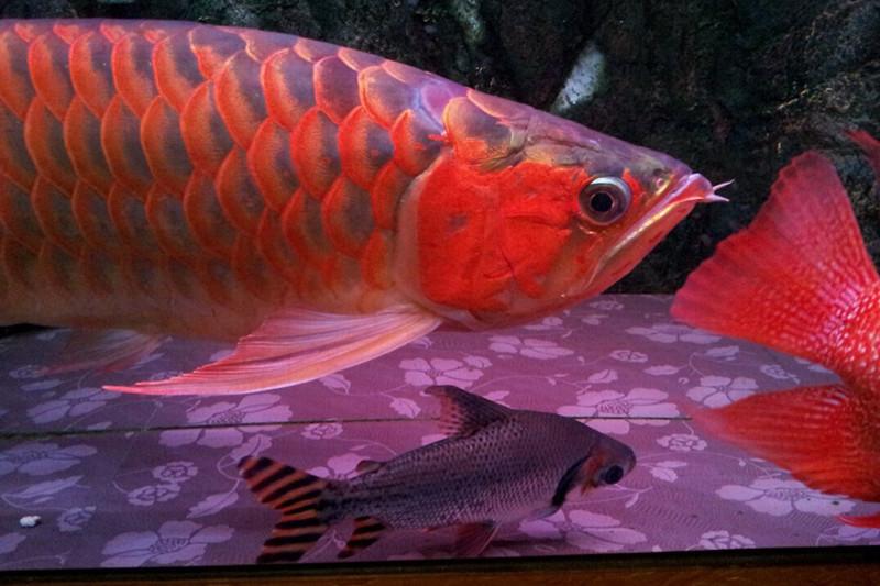 北流印尼小红龙  北流龙鱼 北流龙鱼第3张