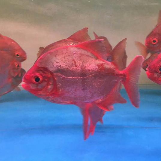 北流玫瑰银版鱼