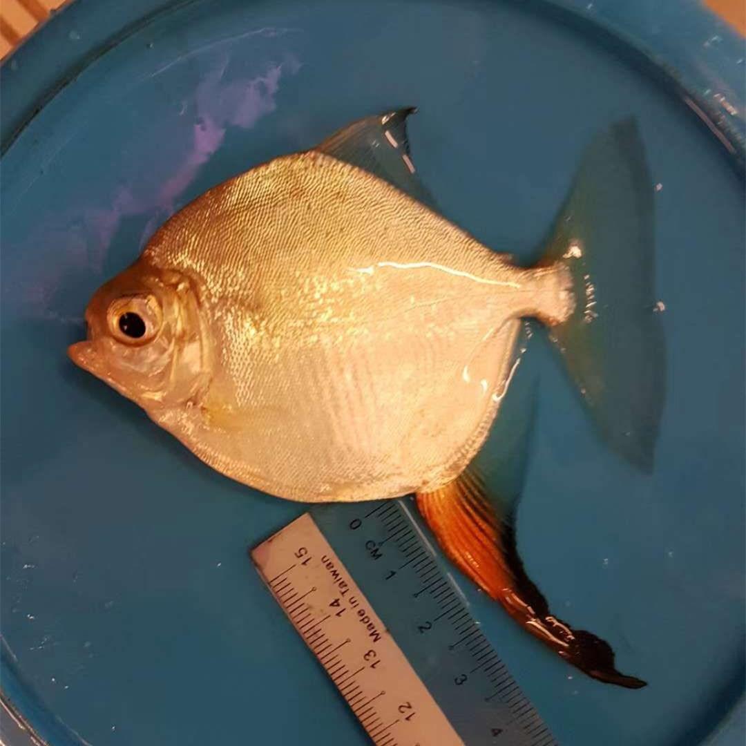 北流红勾银版鱼